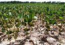 Sequía pone en riesgo 40 mil hectáreas de soya
