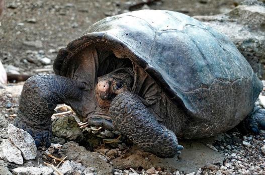 Hallan tortuga considerada extinta hace 100 años en Galápagos