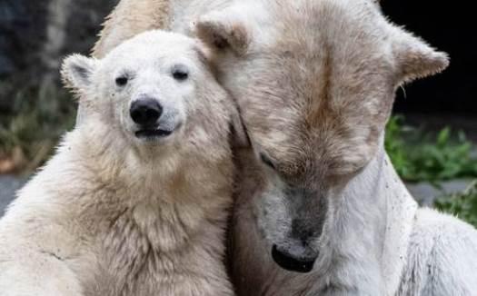 Pelo de oso polar inspira aislante sintético que retiene el calor